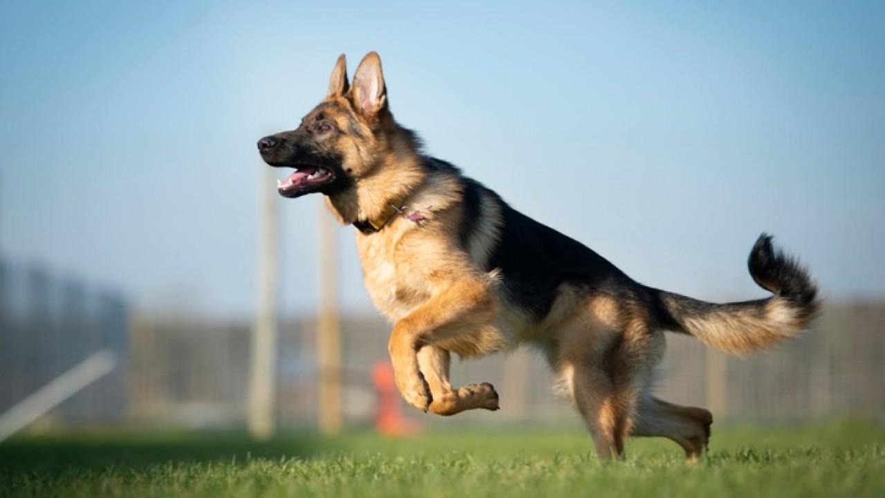 Ilustrasi anjing German Shepherds dilatih mendeteksi orang terinfeksi Covid-19. (Net)