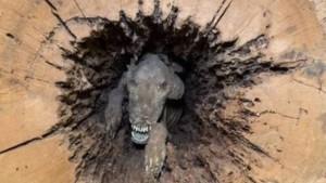 Mumi anjing terjerat pohon (net)-1634957600